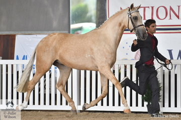 Kerrie Fitzgibbon's eyecatching, 'Springtime Manhattan' (Keira Park Cascade/Mavis) is pictured during the judging of the Arabian Riding Pony Led Senior Gelding.