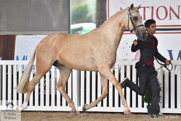 Kerrie Fitzgibbon's eyecatching, 'Springtime Manhattan' (Keira Park Cascade/Mavis) is pictured during the judging of the Arabian Riding Pony Led Senior Gelding.