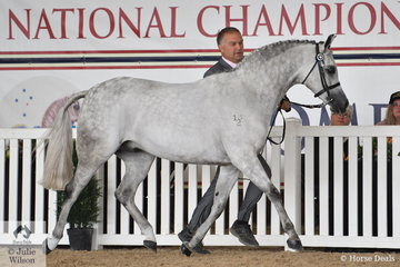 Silvio Galea led, Annette Smith's, 'Cracker Jack' (Burren-Dah True Blue/Honey suckle Rose) to claim the Arabian Pony Gelding Bronze Championship.