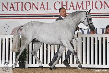 Silvio Galea led, Annette Smith's, 'Cracker Jack' (Burren-Dah True Blue/Honey suckle Rose) to claim the Arabian Pony Gelding Bronze Championship.