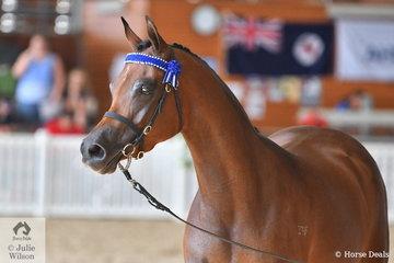 Susan and David Oberg's lovely, 'Girlfriend FF' (Crave FF/Geasha Girl FF) was declared Silver Champion Arabian Riding Pony Senior Mare/Stallion.