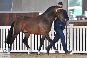 The Rezeema Arabians and Future Farms nomination, 'Rezeema Klass Act' (Storm Haven Ulysses/R. Replica) was declared Silver Champion Arabian Pony Senior Stallion.