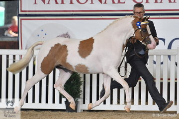Anthony Geyteman is on the run with Paula Cowling's typey, 'Little G Pageboy' (B'Anembo Kool Colour/Crestwood Pageant) that was declared  Gold Champion Arabian Pony Senior Stallion.