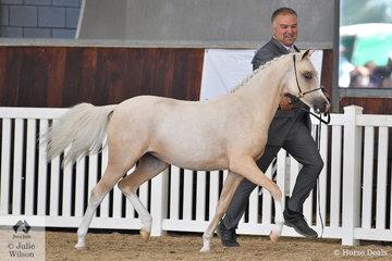 Silvio Galea led the Al Kareeme Stud's, 'Al-Kareeme Froth N Bubble' (Rivington Sunsmart/Lykanarro Flirtation) to take out the Arabian Pony Yearling Filly Silver Championship.