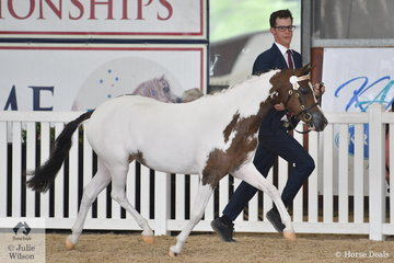 Mitchell  Taff Led Anna and Jonathon Webb's, 'Little G Elegance' (B'Anembo Kool Colour/Nagero Chatterbox)n to take out the  Arabian Pony Junior Filly Bronze Championship.