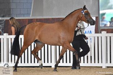 Jayne Bellchambers led Joanne Shackcloth's', 'Heaven Scent VA' (Bracknall Musketeer/Quality Hill Farm Angles Kiss) to claim the Arabian  Pony Junior Filly Gold Championship.