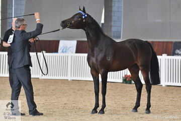 Anthony Geyteman did the honours with his own, 'Crown of Stars' (Chelleason Crown Jewel exp NZ/Bracknell Prommoon) that was declared Bronze Champion Arabian Pony Junior Colt Three Years and Under.