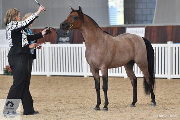 Jayne Bellchambers is pictured with the Westacres Arabians', 'Merriworth Muscat' (Bracknell Musketeer/B. Little Doll) that was declared Gold Champion Arabian Pony Junior Colt Three Years and Under.