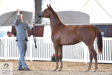 Jason Hodges claimed the Purebred Arabian Yearling Filly Bronze Championship with Phillip Ryan and Philip Wild's, 'Hideaway Farm Pshannon' (Pshalomar/Gabriel HF).