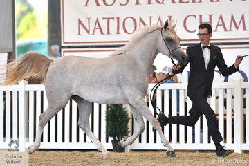 Mitchell Taff claimed the Purebred Arabian Yearling Filly Silver Championship with the Krishlah Arabians nomination, 'Pshania KA' (Pshalomar/Asher KA).