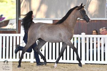 The beautiful Mulawa Arabian Stud P/L nomination, 'Klassical Tiara MI' (Klass/Mustang's Magnum) was declared Purebred Yearling Arabian Filly Gold Champion.