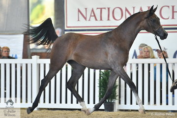 The Al Sahrae Arabians nomination, 'Bohemian  Al Sahrae' (El Chall WR/Beguine OH)  just missed out on a top three placing in the Purebred Arabian Yearling Filly Championship.