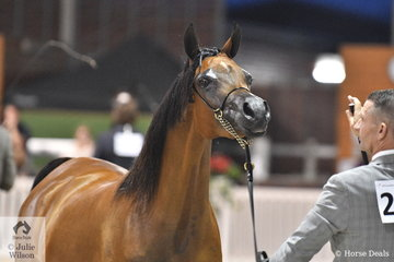 A busy Jason Hodges stands Meredith Prentice's lovely'Estaa SW' (Sir Charmed FF/Estellaa) up well during the judging of the Purebred Arabian Junior Filly Championship. They were awarded the Bronze Championship.