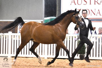 The beautiful Purebred Arabian Senior mares closed the show. Mitchell Taff is pictured with the Krishlah Arabians nomination, 'Avida' (CraveFF/Avondale Fanfare) that was declared Bronze Champion.