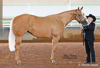 The beautiful JVQ Lisa Marie showed with great eye appeal for owner Lenore Webb in her age Halter classes on both days.