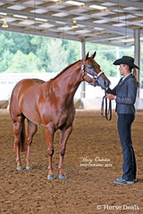 Im A Celebrity (Chris Sewell) was the winner of the Yearling Quarter Horse Filly on the Saturday.