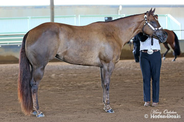 XP Xotica & Maryann Schuemaker were competitors in the 2 Years & Over Open Halter Futurity on the Sunday