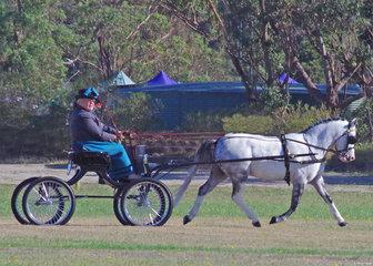 Reserve Champion Non-Hackney - Eagle Park Starburst driven by Julie Abrehart