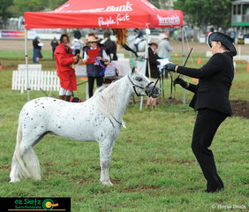 Impressing the Judge in the Led Small Horse Class at the 2019 Toowoomba Royal Show was Jillian Linnan and her stunning gelding Tapika Magic Connection.