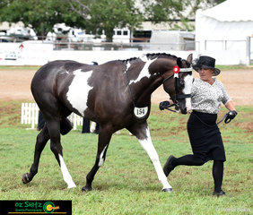 Hollie Shiels trotting out her beautiful black and white pinto, Daiquiri Loredo Moon in the Pinto Spectacular at the 2019 Toowoomba Royal Show.