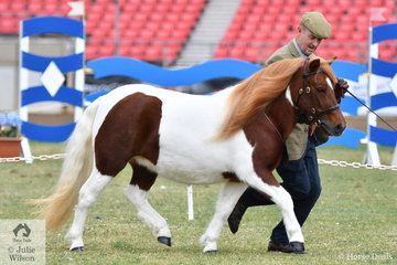 'Edewood Katherine' (Glen Darra Marshwood/Duidgee Kayla) took second place in the class for Shetland Pony Filly two Years and Under 8.2-10.2hh.