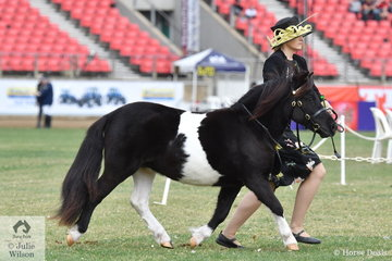Jacinta Campbell did the honours with J Cambourn and the Monarra Park Pony Stud's, 'Monarra Park Harley Quinn' (Gonong Vintage/Fairlight Acres Lindy) to win the class for Shetland Pony Filly Two Years and Under and they went on to take out the Shetland Pony Junior Filly Championship.