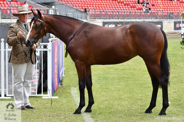 Jenny Weule from Goulburn in NSW is pictured with her typey, 'Nethaway Purple Parch' (Glen Lee Rivoli Teak/G.L.R. Indigo) that won the class for Australian Stock Horse Filly Two Years and Under and went on to be declared Champion Led Mare/Filly and Supreme Led Australian Stock Horse.