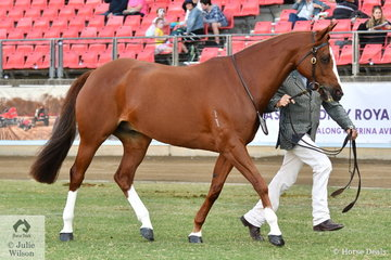 Glen Frazer did the honours with the Playmore Stock Horses' nomination, 'Playmore Roulette' (Glenesk Vegas/ Crossart Evita) to win the Gelding Over 15hh class and claim the Best Led Australian Stock Horse Gelding award.