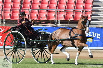 Expert reinswoman and regular Sydney visitor, Elsa Avery drove the Avery Family's, 'Crosswynds Our Brenin' to claim the E.M.M.A. Bull Memorial Perpetual Trophy for Champion Single Horse Harness Turnout.