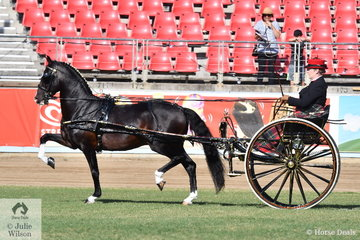 Melissa Bensley drove the Jones and Bensley nomination, the eye catching Hackney, 'Cherry Farm Alarick' to be declared Reserve Champion Single Harness Horse Turnout.