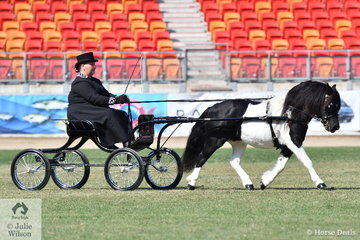 Kerry Buckleigh drove her own and Maureen Pengelly's nomination, 'Green Valley Koby' to win the class for Shetland Pony Show Vehicle Turnout. These owners quinellered the class as Maureen drove, Green Valley Krypton to take second place.
