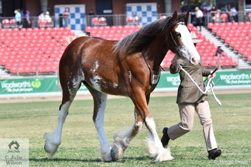 """Youth reigned supreme in the Clydesdale ring with Shaun and Yvette Moloney's yearling filly, 'Samarah Park Grace' (Tullymore William/T. Grace) declared Champion Clydesdale Mare/Filly and Supreme Champion Led Clydesdale. The judge, Scott Goodall declared her, """"feminine and well balanced and a clear winner""""."""
