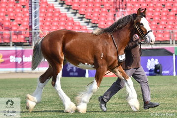 Paul Cooper's Yearling Clydesdale Colt winner, 'Oscarville Lenny' (Meadow Lane Sterling/McMurchie Lady Diana).