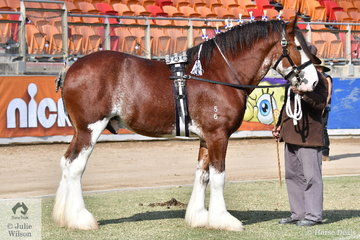 Paul Williams took out the Champion Clydesdale Stallion award with his, 'Oscarville Pegasus' (Valmont's Pegasus/McMurchie Lady Diana).