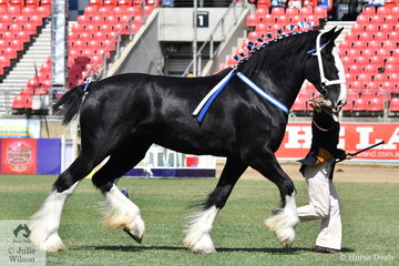 Long time Shire Horse exhibitor, Ineke Kuiper is pictured with her own and Byron Biffin's splendid Champion Shire Horse Mare, 'Ingleside America' (Oakridge Speculator/Wyee Victorine).