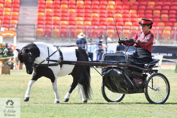 Anne Lindh is pictured at the reins of her own and Chris Lawrie's nomination, 'Lentara Harveston' during the judging of Champion Shetland In Harness.