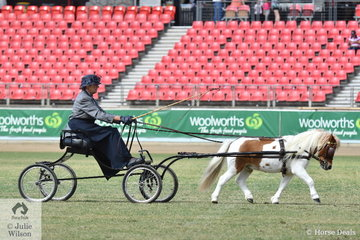 Valerie Dewsbury drove her charming, 'Moongully Farm Stockard' to win the class for Shetland Stallion, Colt, Mare, Filly or Gelding 7.2-8.2hh. They are pictured during the Shetland In Harness Championship drive off.