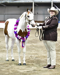CHAMPION PANT HORSE STALLION BRIGHTBROOK SPOOKTACULAR SHOWN AT HALTER BY LEANNE SHELTON