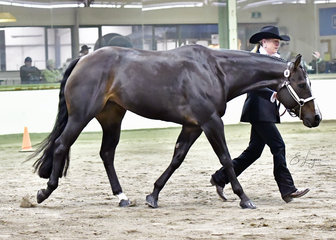 CINDY CALLEWAERT SHOWING IMPRESSIVE TRIBUTE, CHAMPION PAINT BRED MARE.