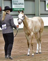 TUNZA POTENTIAL SHOWN BY NICOLE MORRISON IN THE WEANLING HALTER CLASS