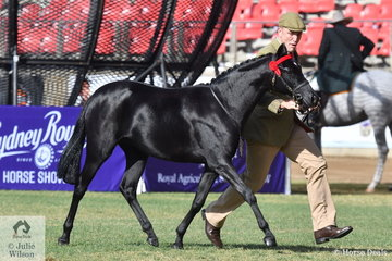 Daniel Harvey is pictured on the run with Tanya Hutchinson's, 'Marley Park Showtime' (Royalwood Rossini/Willowcroft Sweet Temptation) that won the class for Riding Pony Filly Two Years Old N.E.12.2hh.
