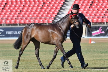 Experienced and successful horseman, Anthony Mountney is pictured with Regina Borg's, 'Sonos Park The Heiress' (Royalwood Rossini/Sonos Park Skys The Limit) that took second place in the class for Riding Pony Two Year Old Filly N.E.12.2hh.