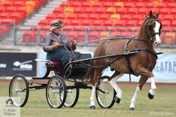 On her way to a clean sweep, Elsa Avery drove her super, 'Crosswynds Our Brenin' to be declared Champion Non Hackney Horse and Supreme Non Hackney Exhibit.
