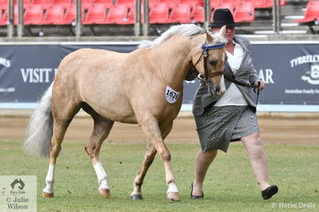 The Jones-Ryan, Darminin and Deveraux nomination, 'NSJ All Glamour' (Bamborough Paramount/Woranora Gift) was declared Reserve Champion Palomino Mare/Filly.