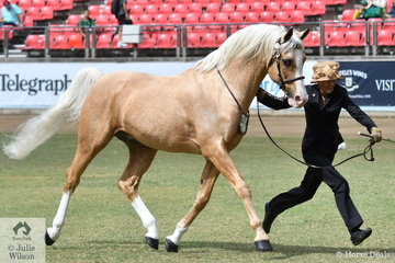 Lahnee Cleary's eyecatching, 'Aratahne Ascention' by Pilbara Park Prediction wad declared Champion Palomino Stallion/Colt.