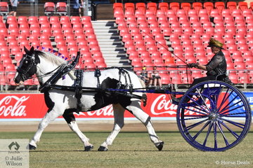 What do you get if you cross an American Percheron with a Gypsy Cob? You get the brilliant 'Demore Park Pride'. Esmay Rheinberger drove her own and Dean Rheinberger's outstanding exhibit to win the class for Medium Delivery Horse In A Non Traditional Vehicle and go on to claim the Non Traditional Vehicle Reserve Championship.