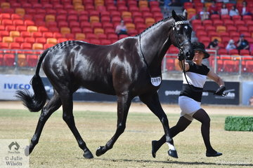 Leanne Olsen's gleaming, 'Black Pearl' (Primus/Lacrimosa) took second place in the class for Led Thoroughbred Gelding Over 16hh.