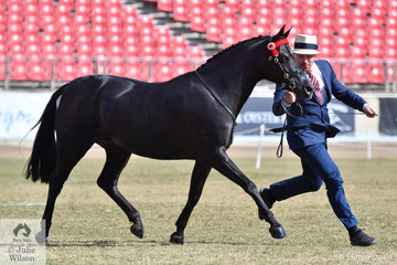 Ricky Carver led the Reality Arabians and Future Farms nomination, 'Butterfly FF' (Crave FF/Krystal Park Buckwheat) to win the class for Arabian Derivative Mare/Filly Three years and Over 13-14hh.