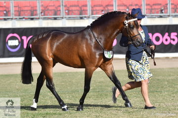 Donna Murray took out the class for Arabian Derivative Colt Under Three Years with her, 'Kaluda Park Stolen Kisses' (KP Comrade/Radford Lodge Nothing Is Forever)