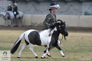 Emily Molenaar's, 'Dunmovin Lodge Ring Master'  (Collanie Park Sweet Illusion/DL Glamour Girl) won the class for Three Year Old Miniature Pony Colt.